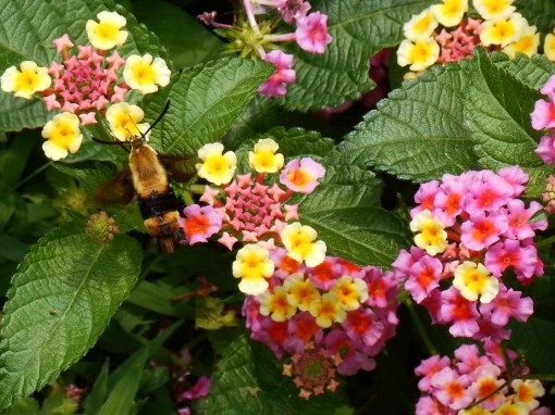 Hummingbird Moth feeding on Lantana in the garden this morning.