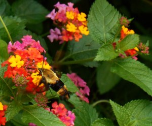 A hummingbird moth feeds from our Lantana.