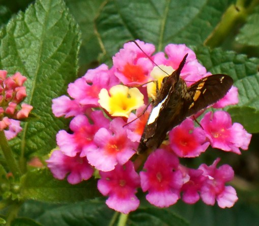This Painted Lady butterfly shared the Lantana with our Hummingbird Moth.