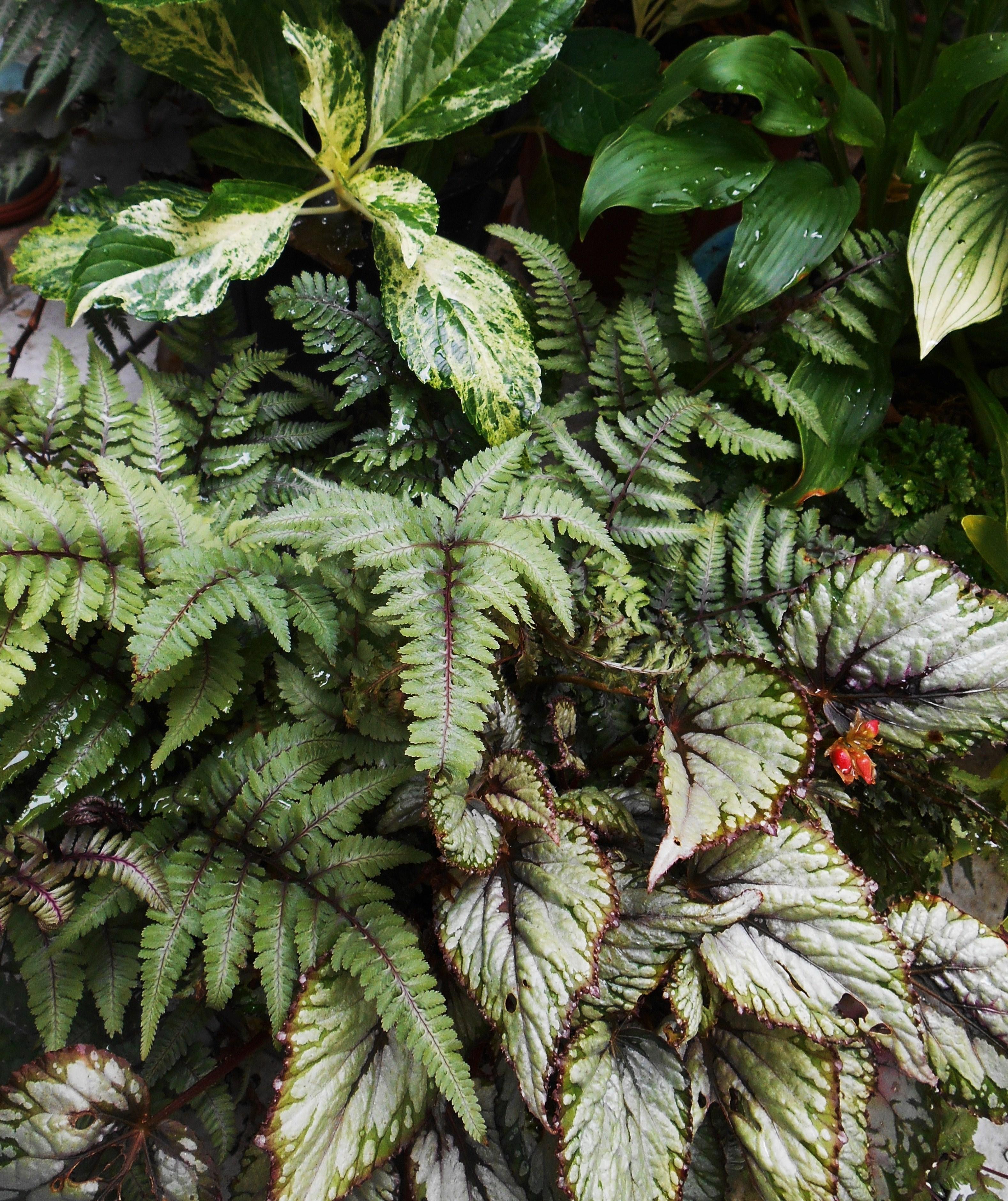 Fern Rhizome Ginger Lily | F...