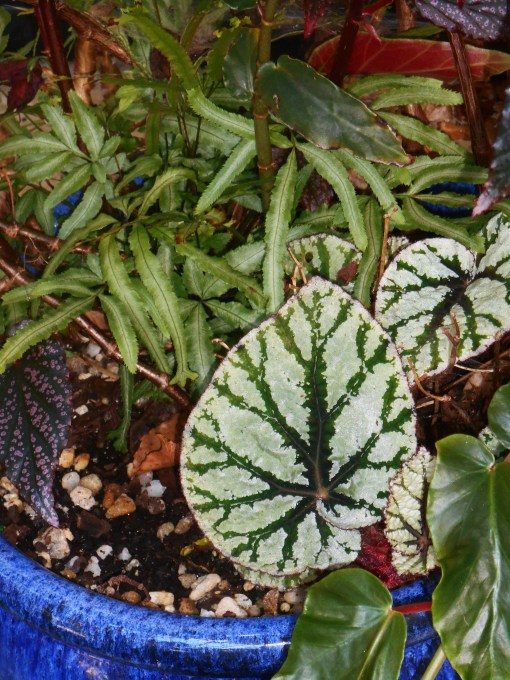 A Begonia Rex, with fern.