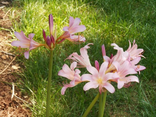 Belladonna Lily, blooming in my neighbor's front yard in late July