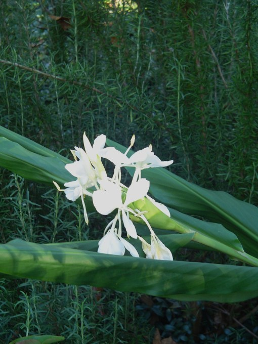 Ginger lily growing from a rhizome given to us by a friend.  These can be divided and spread each spring.