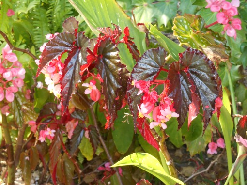 This is one of my favorite Begonias from cuttings.  I bought one plant a decade ago, and continue to start new ones from it.  I've given cuttings from this special Begonia to many friends.