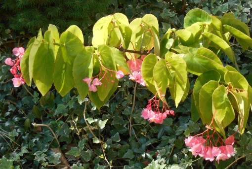 how to start begonias from cuttings