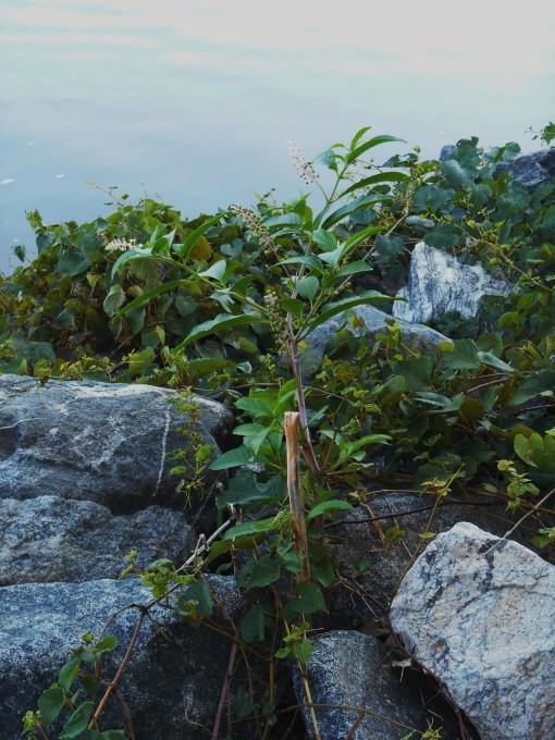 Wild grapevines and wild berries growing from between the granite stones of a breakwateron a creek crossing the Colonial Parkway.