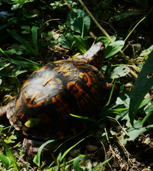 Spotting an Eastern Box turtle fills us with delight.