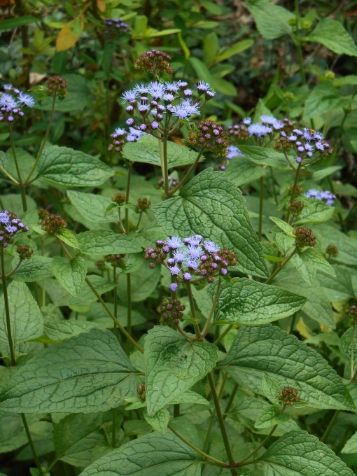 Wild, perennial Ageratum grows in our garden.