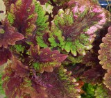 Another of last summer's Coleus varieties I never found this spring.
