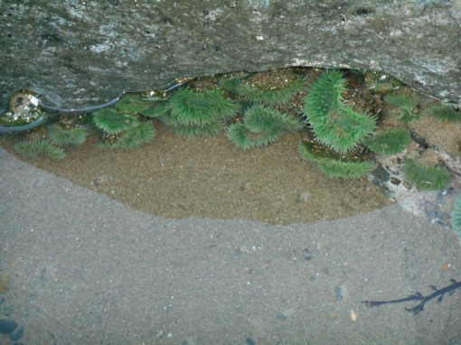 Green Sea Anenomes live in this natural tidal pool on the beach.