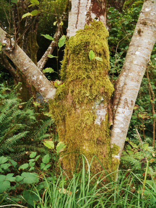 "Do you see a ""Green Man's"" face in this mossy tree?"