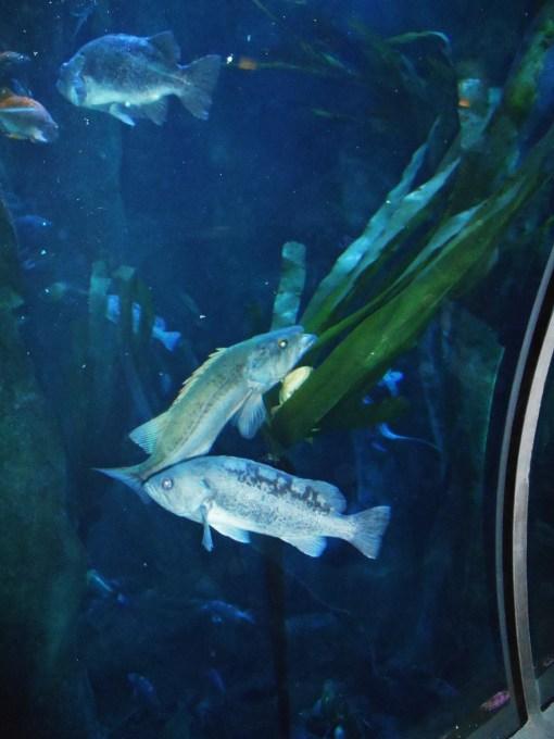 Deep water tanks at the Newport Aquarium.