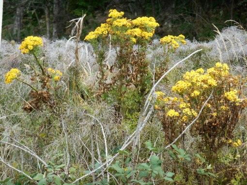 Wildflowers on the roadside on Rt. 101 in Oregon.