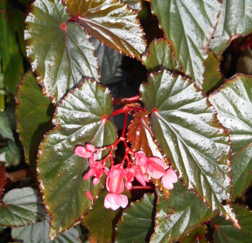 This is my favorite Begonia to share.  I've given cuttings to many friends.  They root very easily.