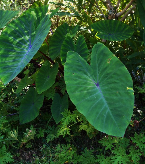 "Colocasia, ""Blue Hawaii"" is supposed to be hardy here in Zone 7b.  I'mn debating whether to pot up a division to keep inside as insurance..."