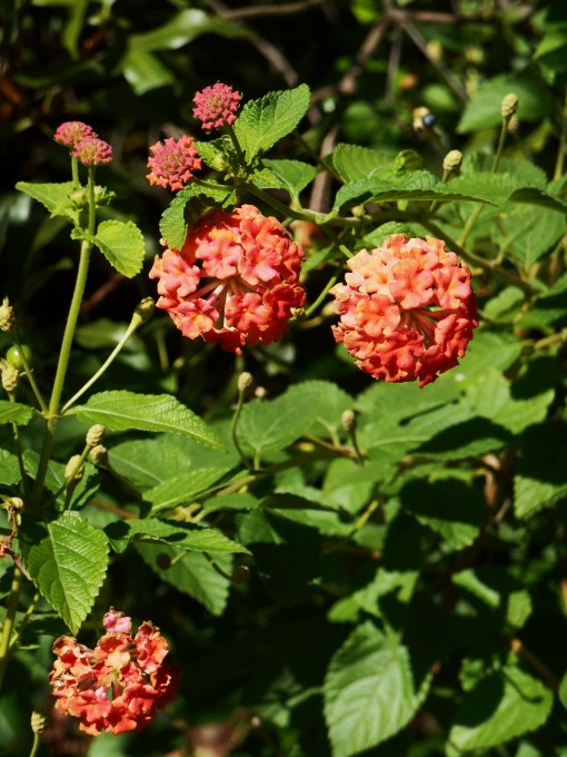 """Miss Huff"" Lantana, now in its third summer, blooms at ""head height"" now.  It will continue to bloom until a hard freeze kills the leaves."