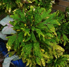 Coleus in this year's garden. A neighboring plant was targedted for distruction by a wayward deer.