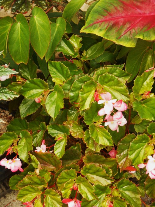 "Begonia, ""Richmondensis"" isn't easy to find.  Homestead Garden Center carried it this spring, and I purchased several.  This Begonia blooms prolifically all summer and can take more sun than most.  I will definitely keep this plant over winter and root cuttings in early spring."