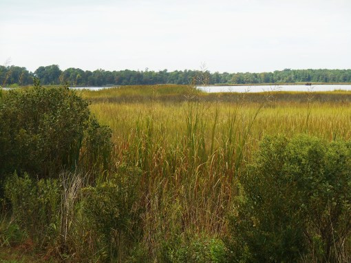 September 5, 2014 phragmites 014
