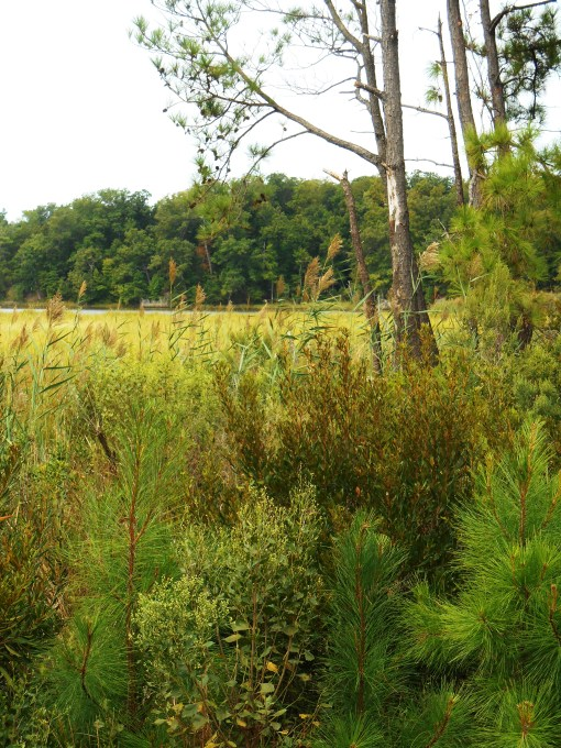 September 5, 2014 phragmites 015