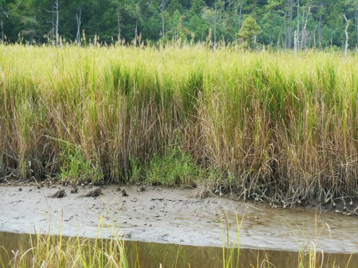 September 5, 2014 phragmites 059