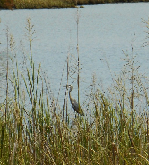 September 5, 2014 phragmites 073