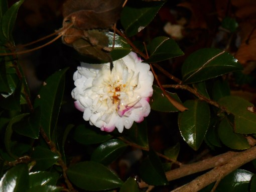 Early December 2013 found this lovely blossom opening... one of the only on this new shrub which escaped grazing deer.