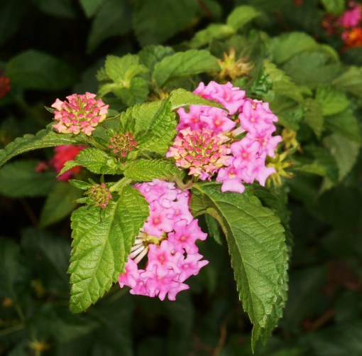 Lantana, the toughest of the tough in our garden, grows more intense as nights grow colder.  This one is not about 7' high.