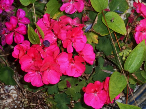 Fuchsia geraniums grow even more intense during the shorter, cooler days of Indian summer.