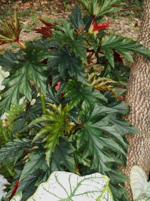 "Begonia, ""Sophie"" came in today, and will likely stay inside now.  Started from a small cutting, this lovely plant has grown all in one season."