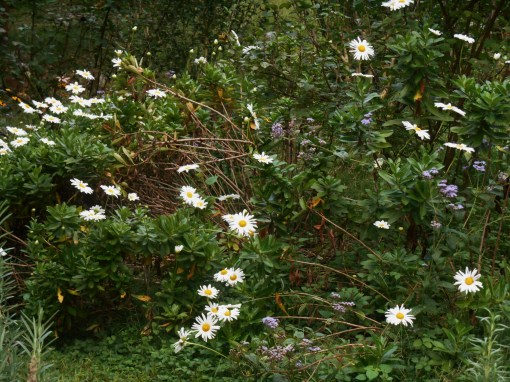 "This series of borders has gotten ""hit or miss"" attention this summer.  These sturdy daisies have kept going in spite of my neglect."
