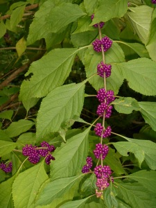 Beauty berry grows like the native (weed?) it is. These self-seed around the garden, and never suffer from hungry deer. Our birds take great delight in the berries as they ripen.