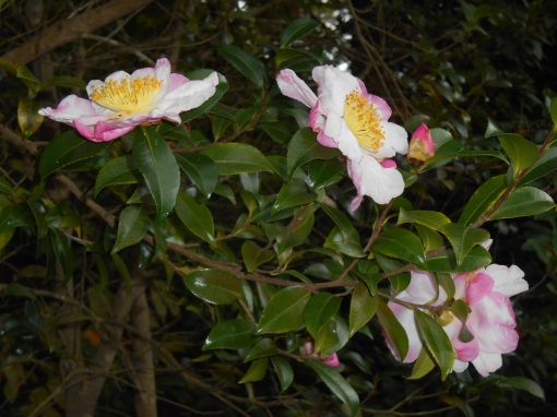 These Camellias bloom each autumn, and continue producing buds until early spring.