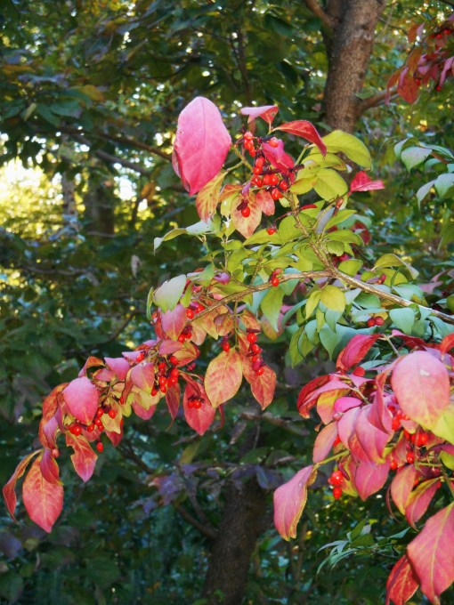Euonymus alatus, known as Burning Bush, begins to turn scarlet in late summer.