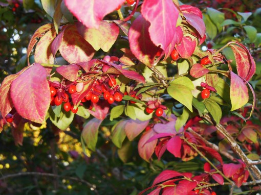 Birds enjoy the Euonymus berries, and we enjoy its scarlet leaves.