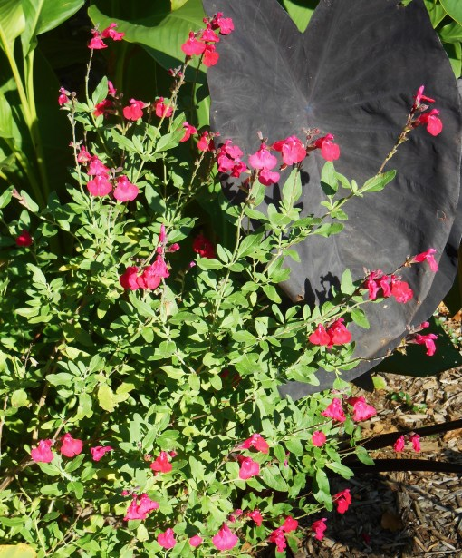 "Salvia with Colocasia ""Black Magic"""