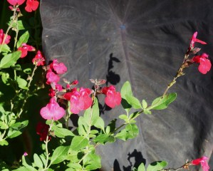 Salvia with Colocasia