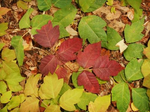 Even Poison Ivy turns scarlet each autumn.