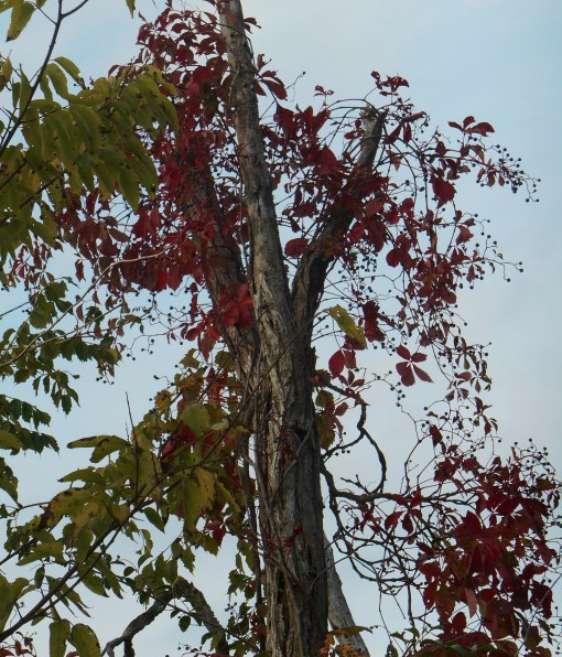 Virginia Creeper, full of ripe berries, has turned scarlet.