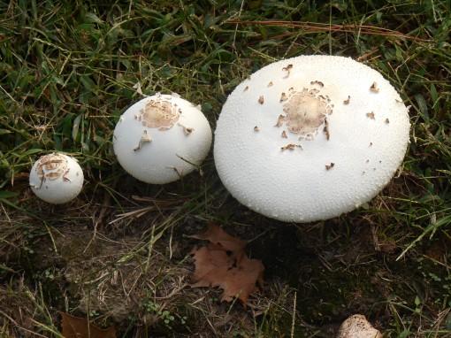 October 3, 2014 mushrooms 159
