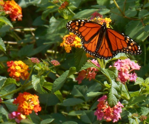 This male Monarch has made himself at home in our garden, enjoying the Lantana buffet these last few weeks. Do you see the spots, near the body, on his rear wings? These spots indicate a male butterfly.