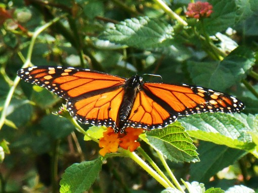 Monarch spotted feeding in our garden this morning.