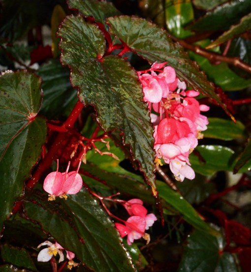 Hummingbirds enjoy these fuchsia colored Begonia flowers, also.