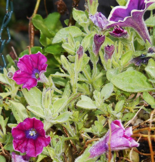 Petunias also bring the hummingbirds close to feed.