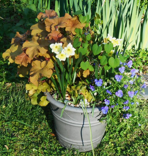 Violas jnder a potted redbud tree grow here with Heuchera and daffodils.