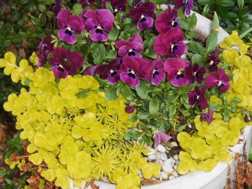 Violas with creeping jenny and a hardy Sedum.
