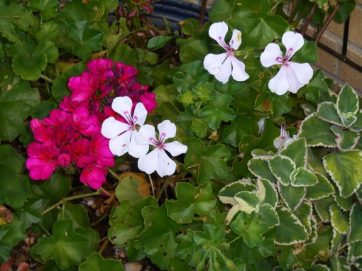 Purchased in late April in tiny pots, these geraniums can be dug out of the large pot which has been there home this summer, and brought insid for winter storage.