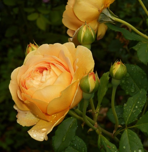 "R. ""Golden Celebration,"" another of our favorite David Austen roses, at the end of May."