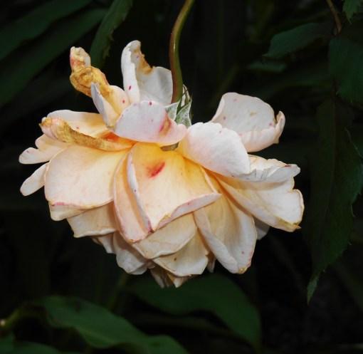 "Rose, ""Crown Princess Margareta"" by David Austen."