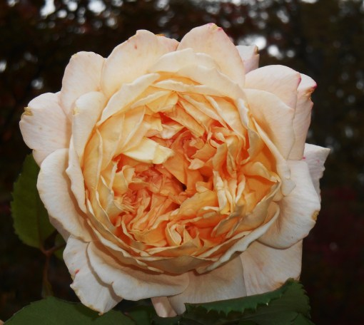 "Rose, ""Crown Princess Margareta"" by David Austen."
